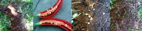 How to grow chili
