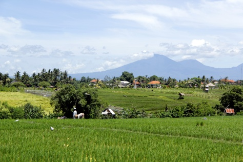 Rice paddy and volcano
