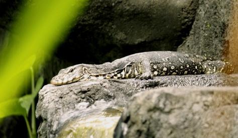 Iguana on the rock in Bali